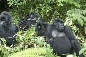 Gorilla Habituation in Bwindi Impenetrable National Park